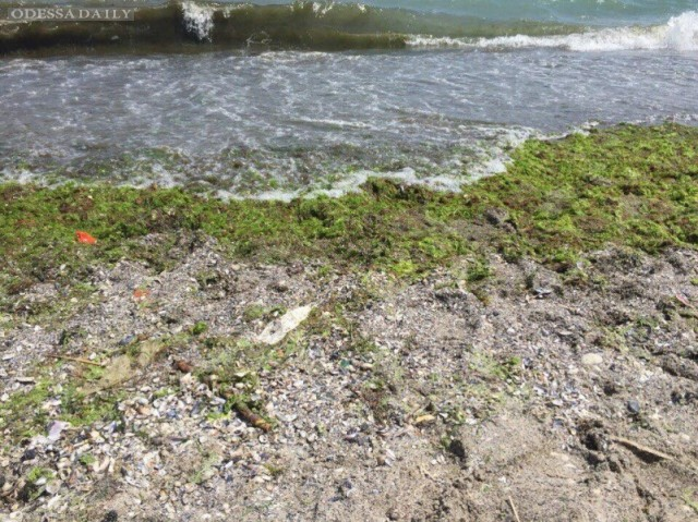 Водоросли на одесском побережье не опасны для здоровья – экологи