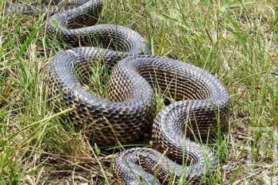 Под Одессой нашли крупнейшую в Европе змею