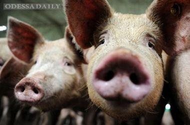 Беларусь запретила чумную свинину из Украины