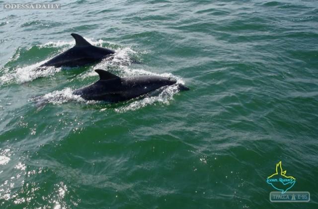Дельфины облюбовали морские воды нацпарка Тузловские лиманы в Одесской области