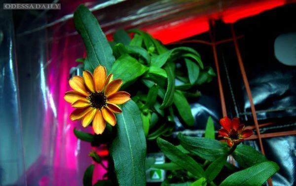 На борту Международной космической станции впервые распустился цветок. Фото