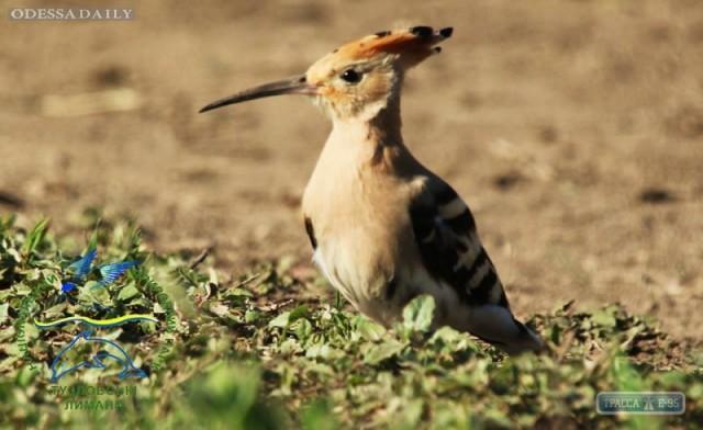 В Одесскую область из Африки прилетела птица царя Соломона