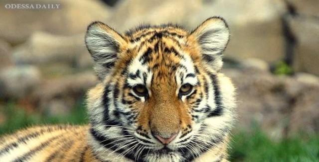 В России пьяный дрессировщик вывел тигрицу погулять среди людей (ВИДЕО)